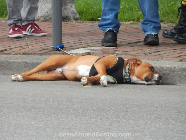 dog tired at 2016 boston pride parade