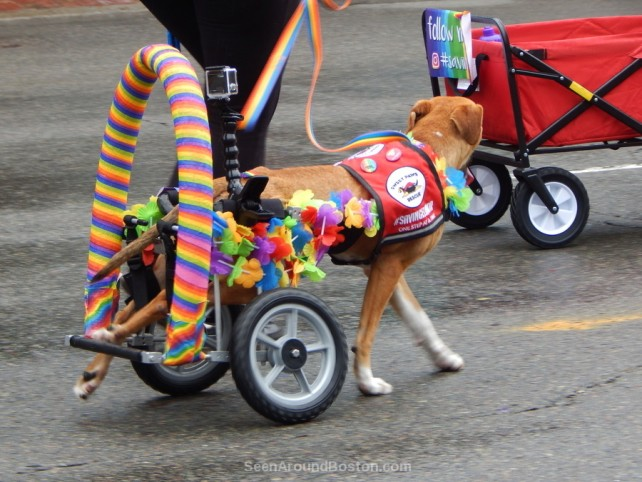 sweet paws rescue dog, 2016 boston pride parade